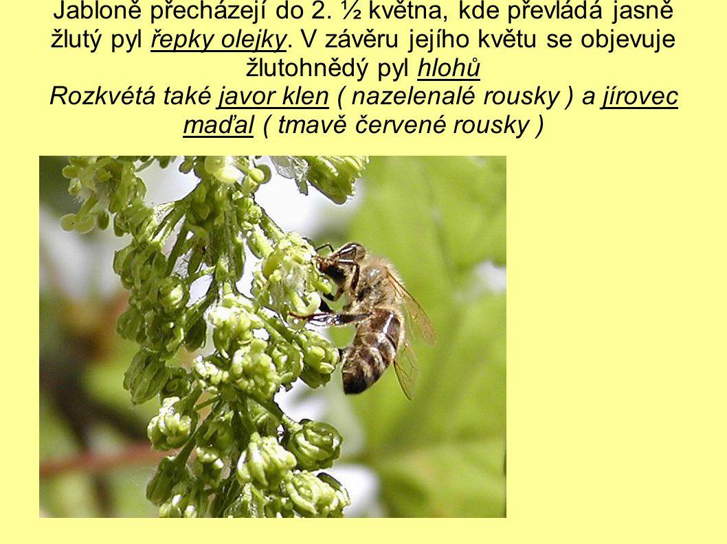 Jabloně přecházejí do 2. ½ května, kde převládá jasně žlutý pyl řepky olejky.