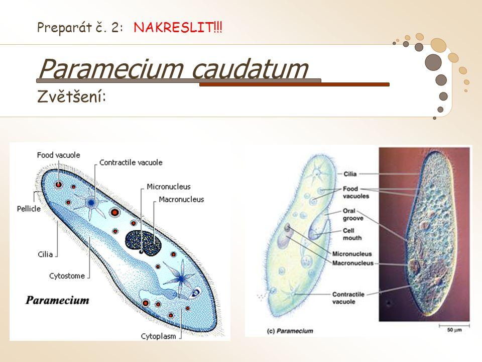Preparát č. 2: NAKRESLIT!!! Paramecium caudatum