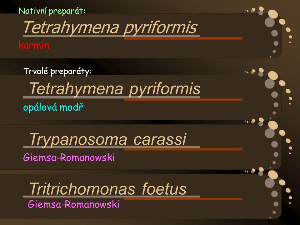 Nativní preparát: Tetrahymena pyriformis karmín
