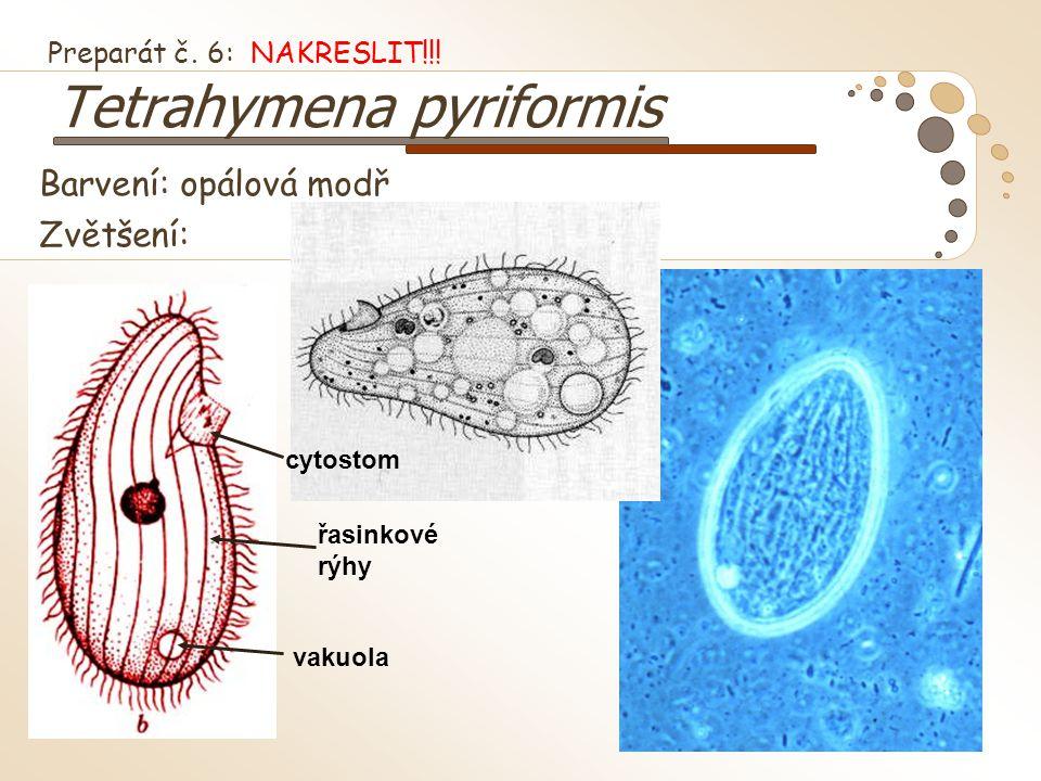 Preparát č. 6: NAKRESLIT!!! Tetrahymena pyriformis