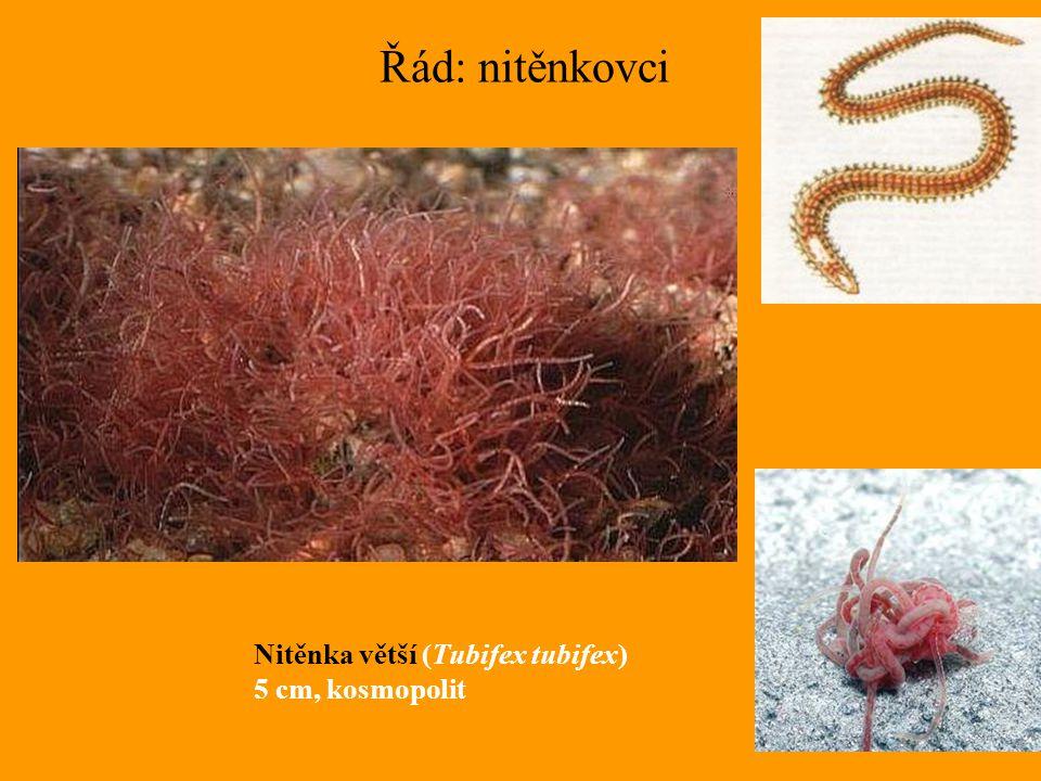 Řád: nitěnkovci Nitěnka větší (Tubifex tubifex) 5 cm, kosmopolit