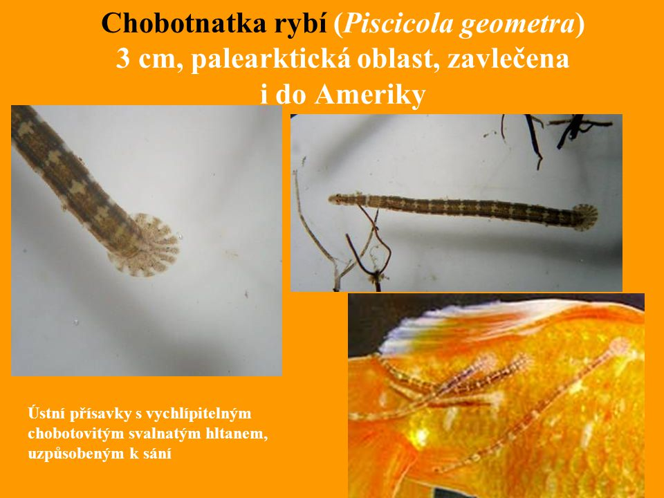 Chobotnatka rybí (Piscicola geometra) 3 cm, palearktická oblast, zavlečena i do Ameriky