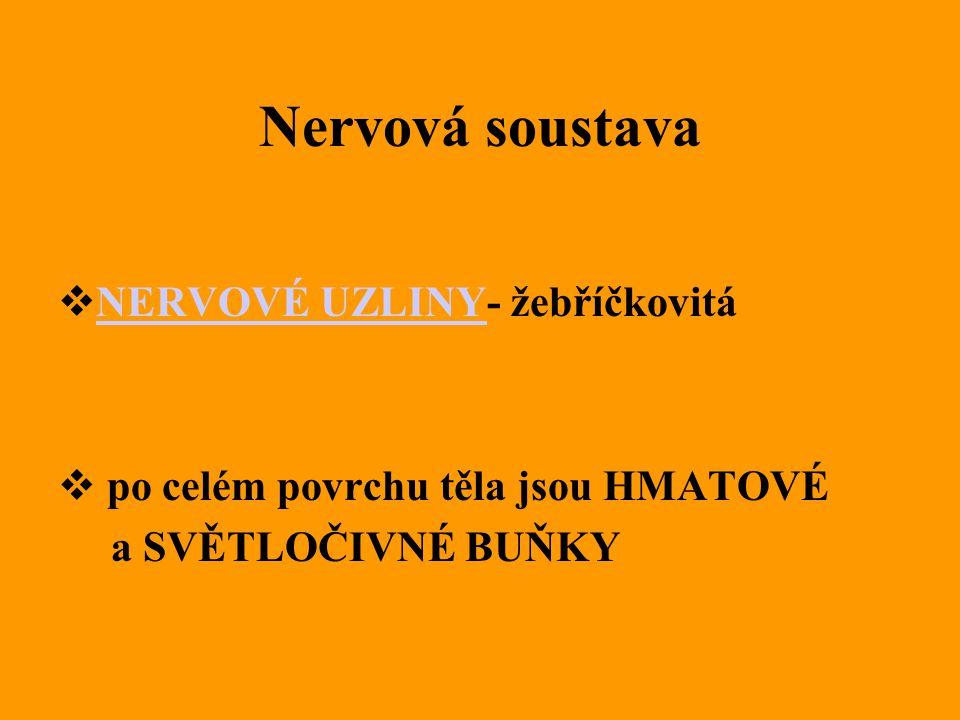 Nervová soustava NERVOVÉ UZLINY- žebříčkovitá