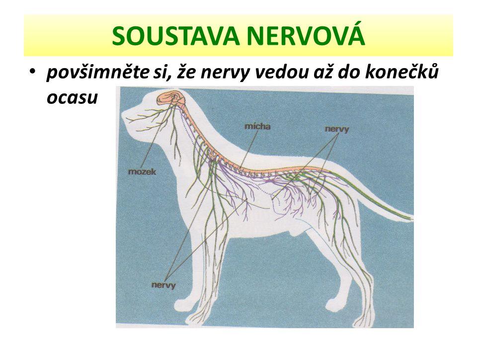 SOUSTAVA NERVOVÁ povšimněte si, že nervy vedou až do konečků ocasu