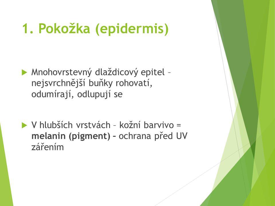 1. Pokožka (epidermis) Mnohovrstevný dlaždicový epitel – nejsvrchnější buňky rohovatí, odumírají, odlupují se.