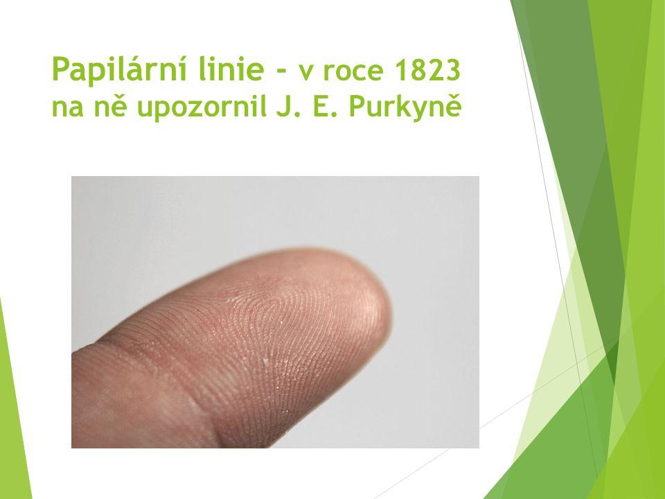 Papilární linie - v roce 1823 na ně upozornil J. E. Purkyně