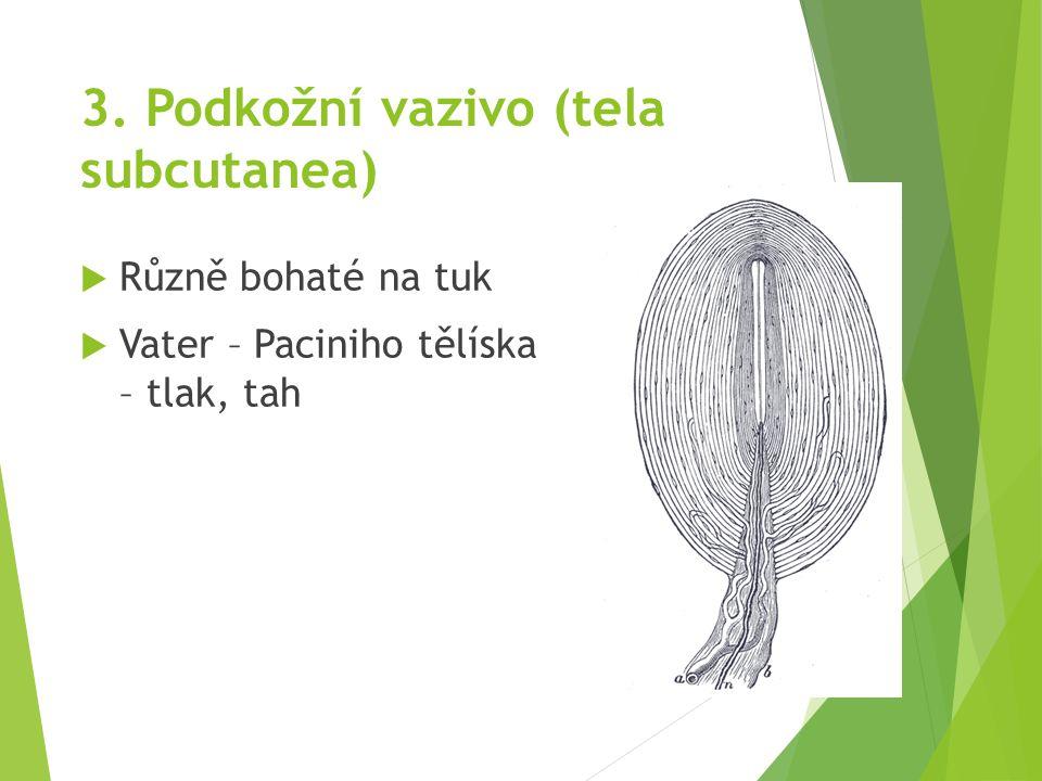 3. Podkožní vazivo (tela subcutanea)