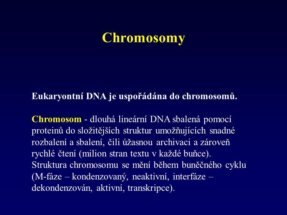 Chromosomy Eukaryontní DNA je uspořádána do chromosomů.