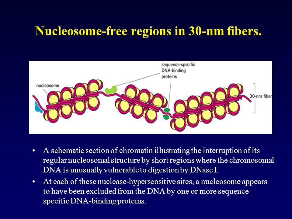 Nucleosome-free regions in 30-nm fibers.