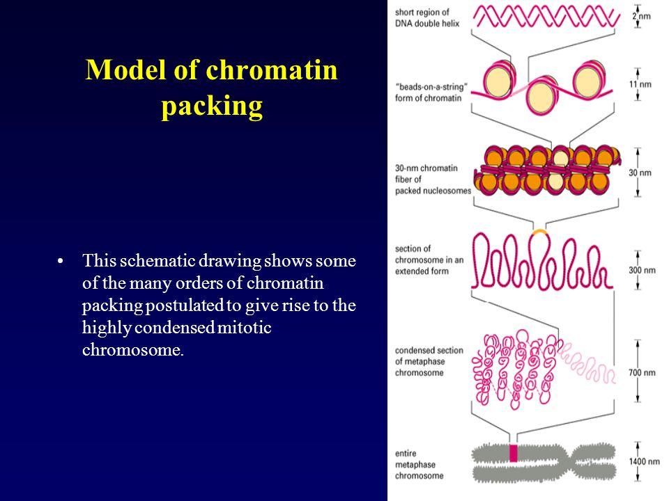 Model of chromatin packing