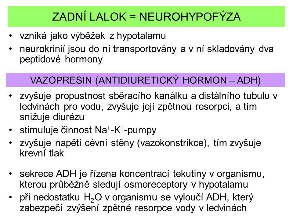 ZADNÍ LALOK = NEUROHYPOFÝZA