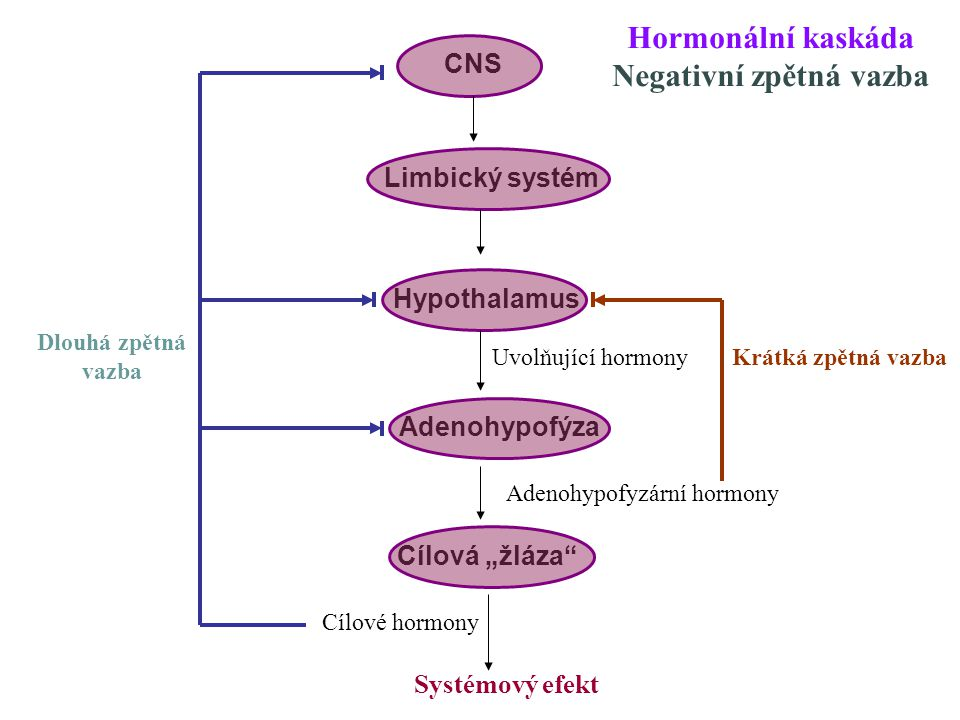 Hormonální kaskáda Negativní zpětná vazba