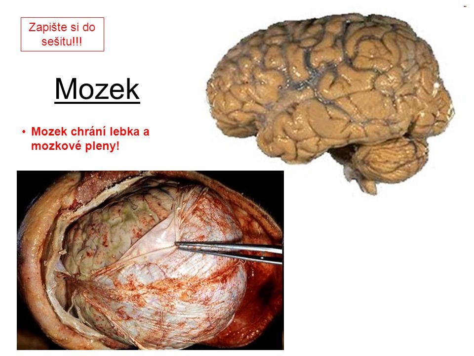 Zapište si do sešitu!!! Mozek Mozek chrání lebka a mozkové pleny!