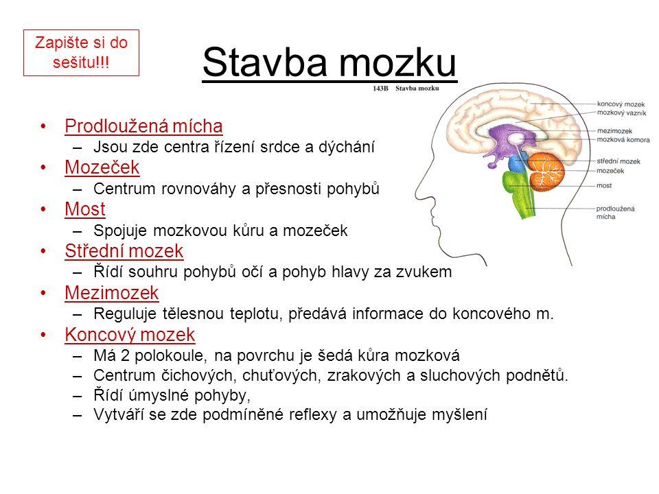 Stavba mozku Prodloužená mícha Mozeček Most Střední mozek Mezimozek