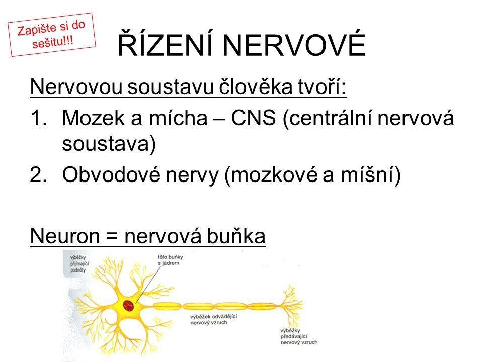 ŘÍZENÍ NERVOVÉ Nervovou soustavu člověka tvoří: