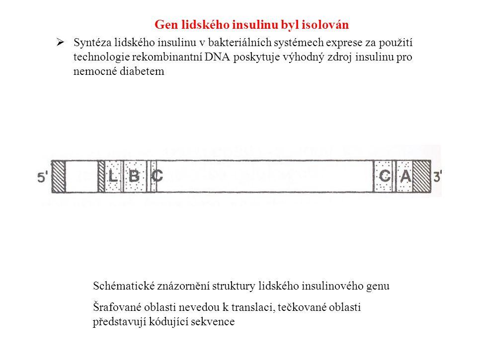 Gen lidského insulinu byl isolován