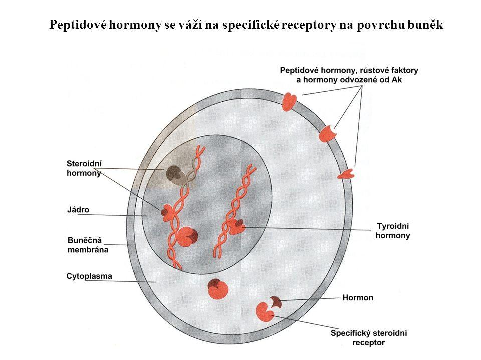 Peptidové hormony se váží na specifické receptory na povrchu buněk