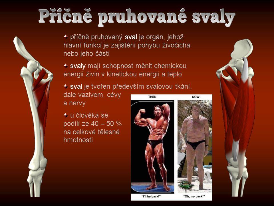 Příčně pruhované svaly