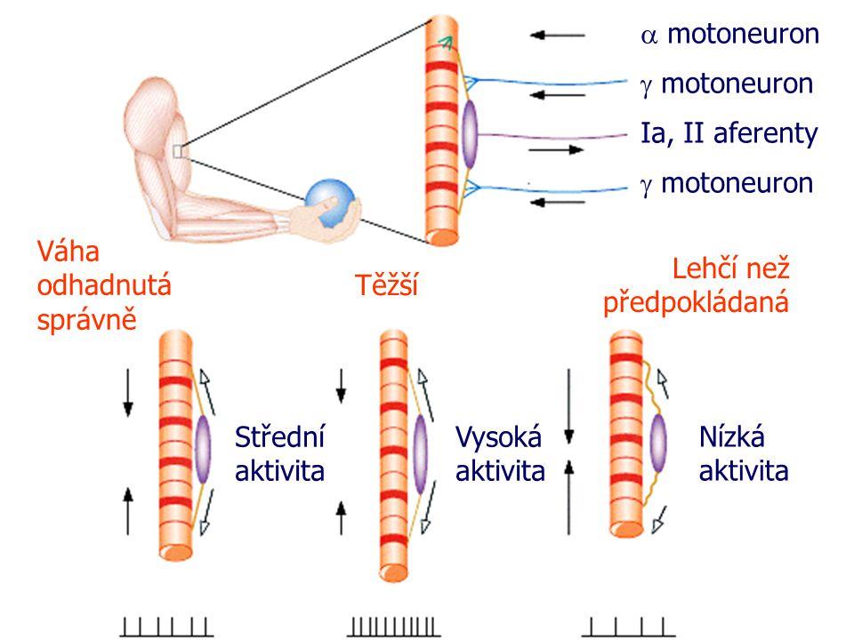 a motoneuron g motoneuron. Ia, II aferenty. g motoneuron. Váha odhadnutá správně. Lehčí než předpokládaná.