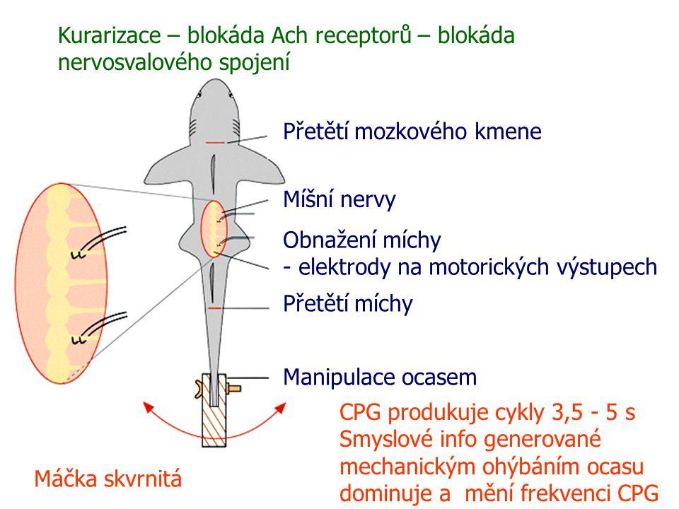 Kurarizace – blokáda Ach receptorů – blokáda nervosvalového spojení