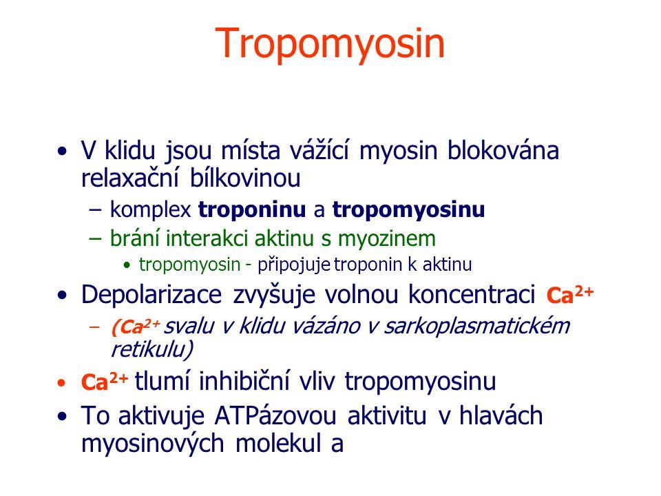 Tropomyosin V klidu jsou místa vážící myosin blokována relaxační bílkovinou. komplex troponinu a tropomyosinu.
