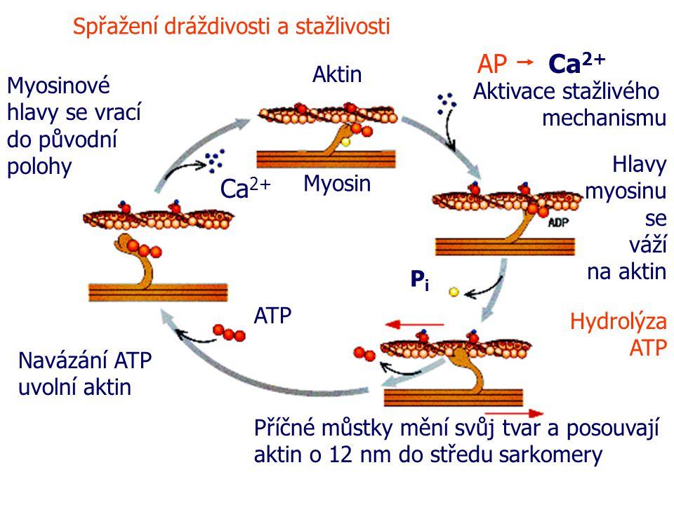 AP Ca2+ Ca2+ Spřažení dráždivosti a stažlivosti Aktin
