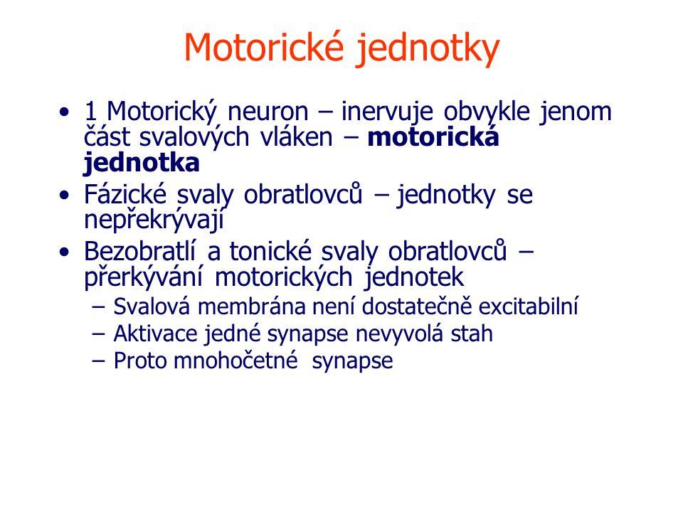 Motorické jednotky 1 Motorický neuron – inervuje obvykle jenom část svalových vláken – motorická jednotka.
