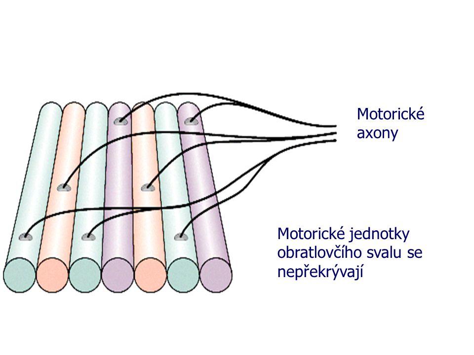Motorické axony Motorické jednotky obratlovčího svalu se nepřekrývají