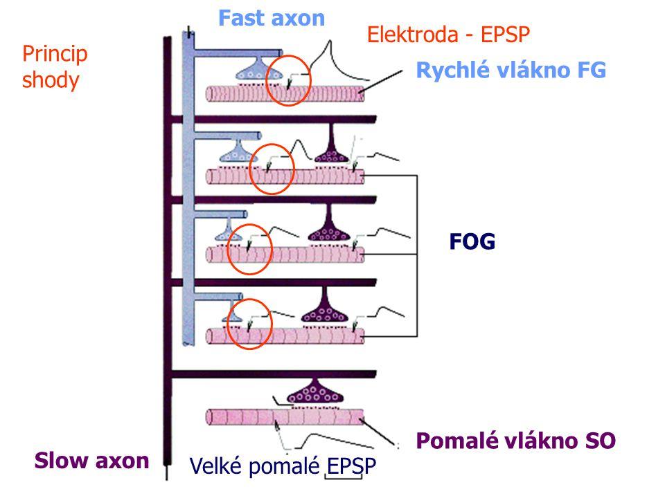 Fast axon Elektroda - EPSP. Princip. shody. Rychlé vlákno FG. FOG. Pomalé vlákno SO. Slow axon.