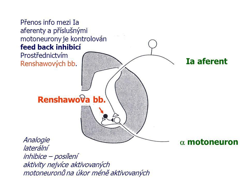 Ia aferent Renshawova bb. a motoneuron Přenos info mezi Ia