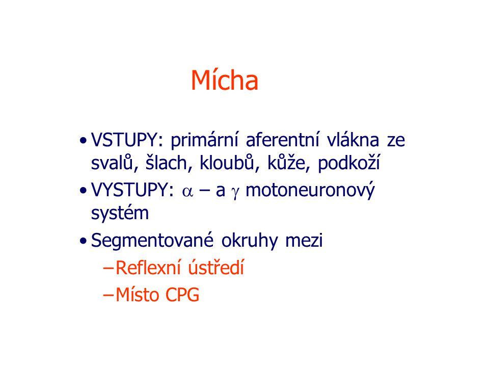 Mícha VSTUPY: primární aferentní vlákna ze svalů, šlach, kloubů, kůže, podkoží. VYSTUPY: a – a g motoneuronový systém.