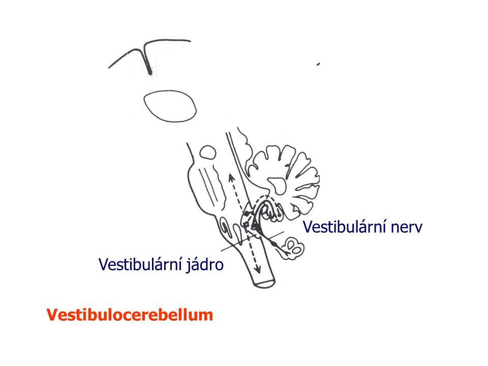 Vestibulární nerv Vestibulární jádro Vestibulocerebellum