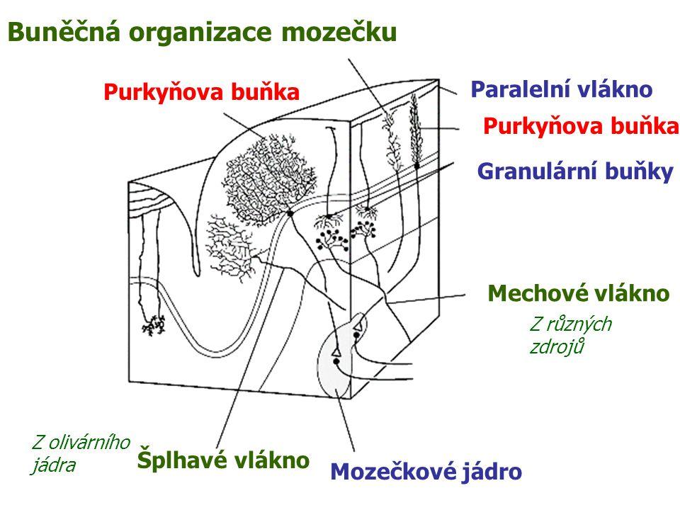 Buněčná organizace mozečku