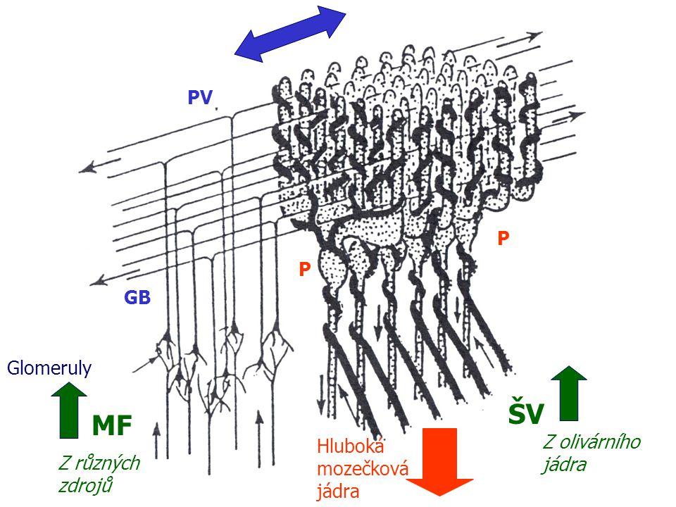 ŠV MF PV P P GB Glomeruly Z olivárního Hluboká jádra mozečková