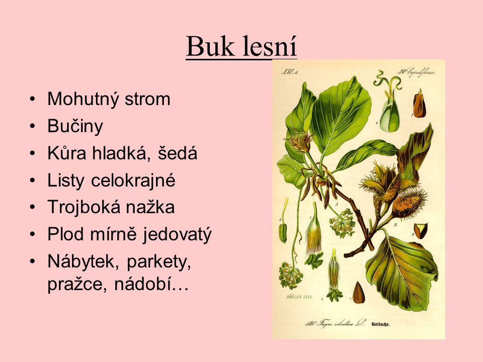 Buk lesní Mohutný strom Bučiny Kůra hladká, šedá Listy celokrajné