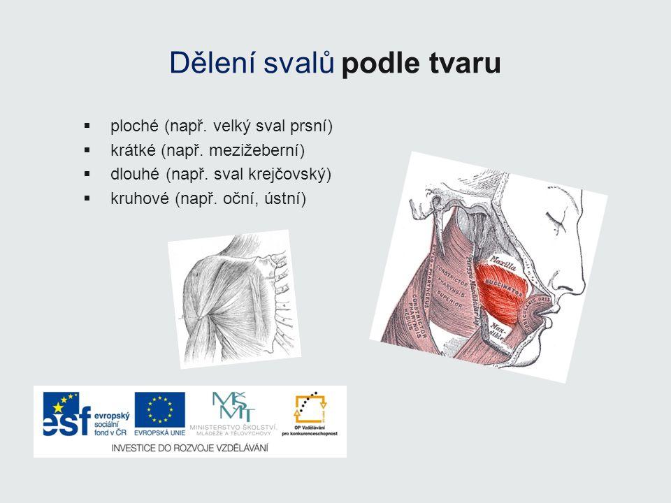 Dělení svalů podle tvaru