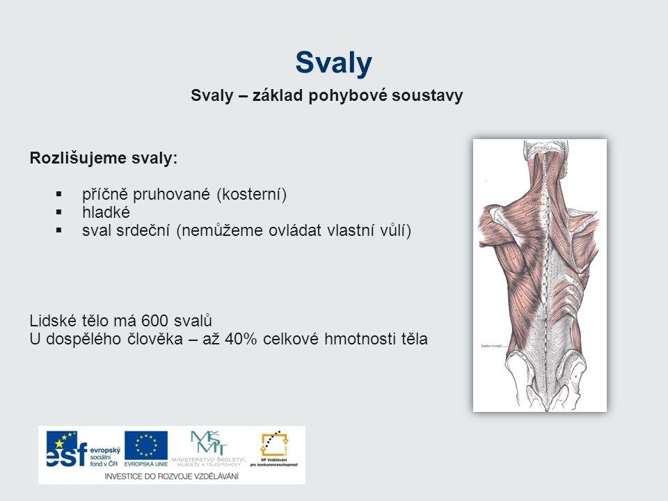 Svaly Svaly – základ pohybové soustavy Rozlišujeme svaly: