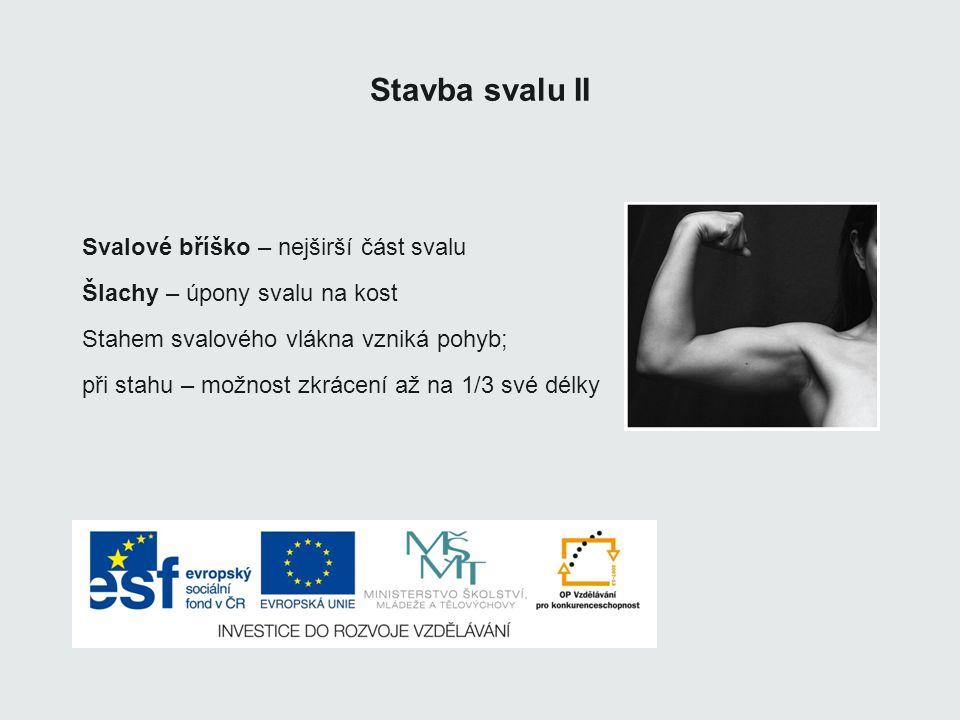 Stavba svalu II Svalové bříško – nejširší část svalu