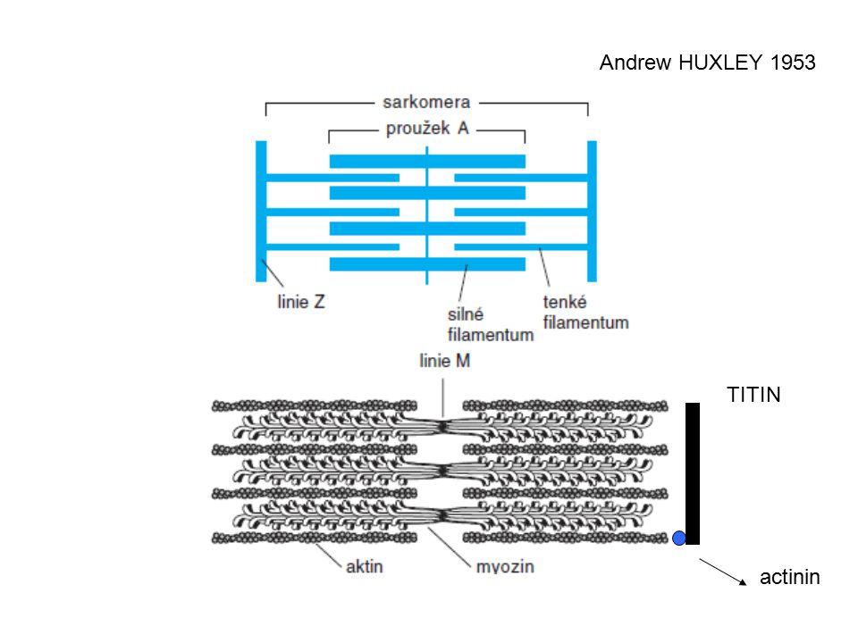 Andrew HUXLEY 1953 TITIN actinin