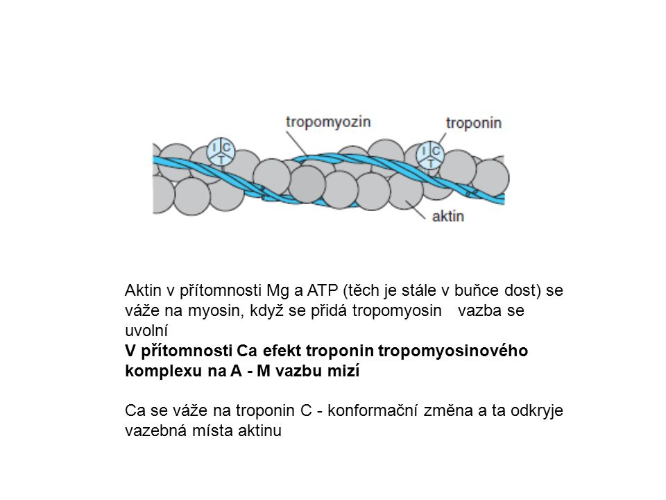 Aktin v přítomnosti Mg a ATP (těch je stále v buňce dost) se váže na myosin, když se přidá tropomyosin vazba se uvolní