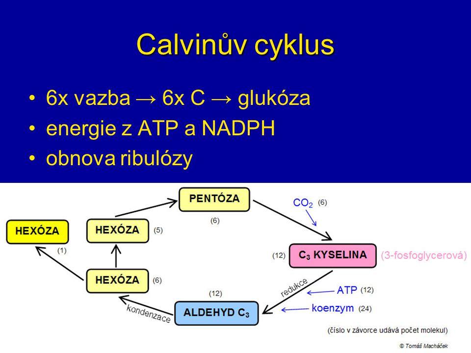 Calvinův cyklus 6x vazba → 6x C → glukóza energie z ATP a NADPH