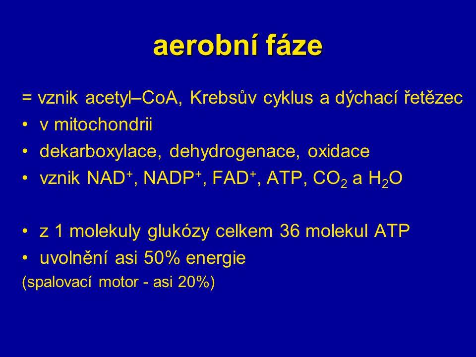 aerobní fáze = vznik acetyl–CoA, Krebsův cyklus a dýchací řetězec