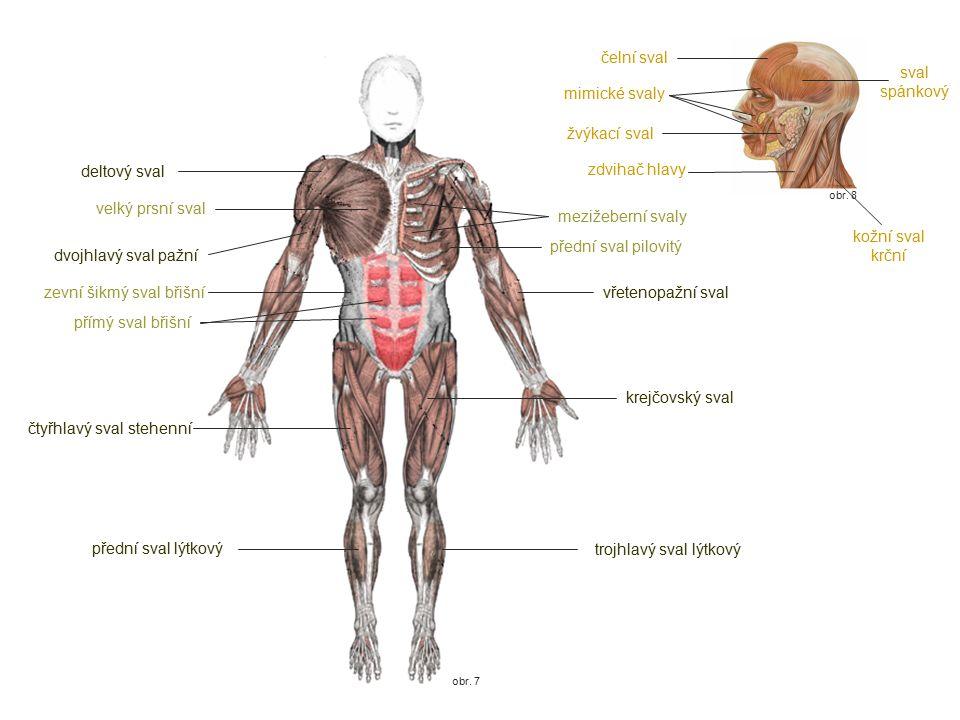 zevní šikmý sval břišní vřetenopažní sval