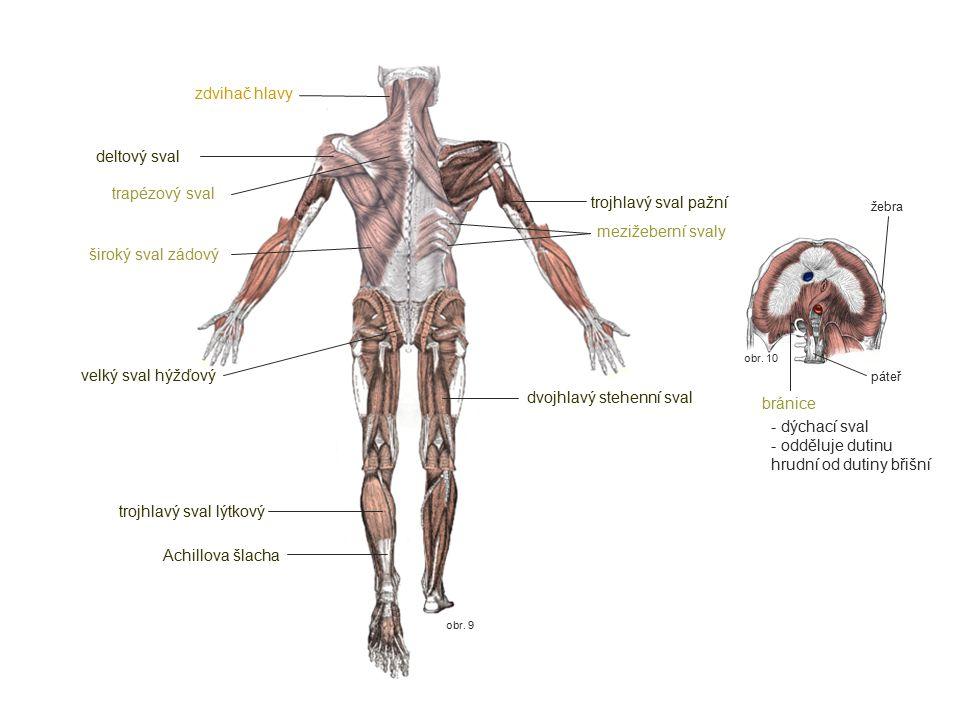 dvojhlavý stehenní sval bránice