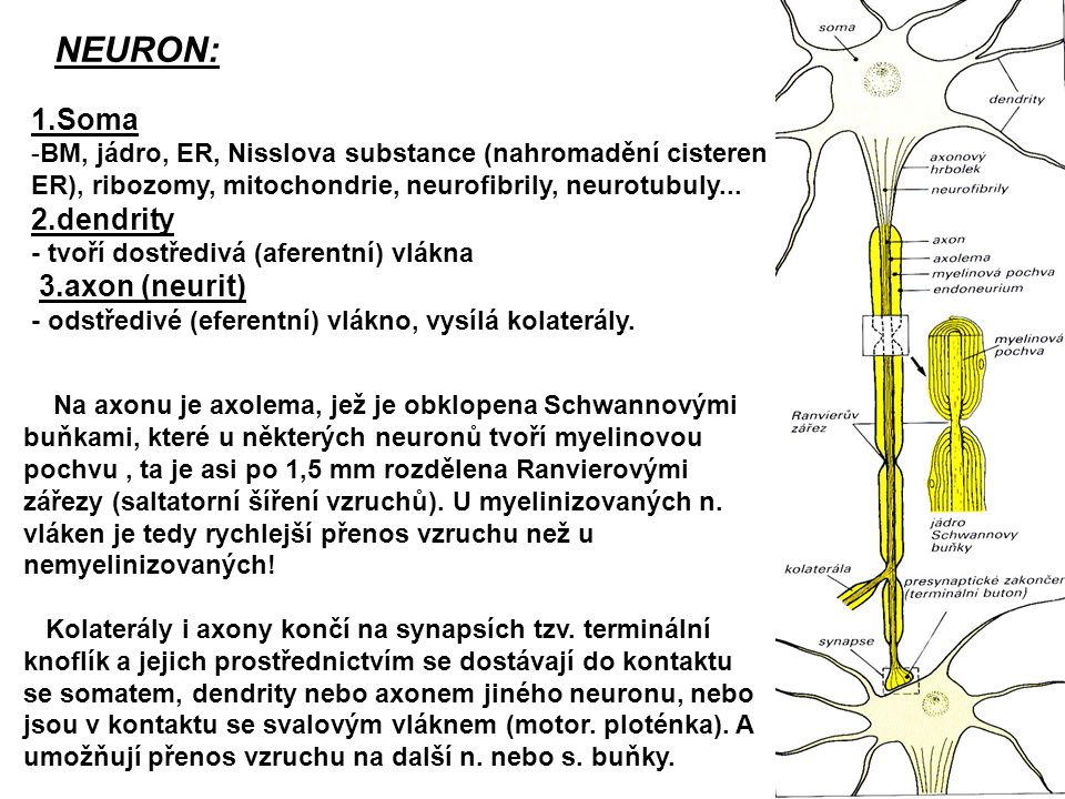 NEURON: 1.Soma 2.dendrity 3.axon (neurit)