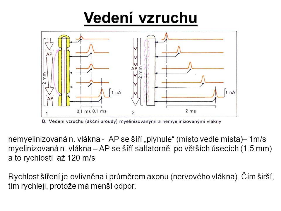 """Vedení vzruchu nemyelinizovaná n. vlákna - AP se šíří """"plynule (místo vedle místa)– 1m/s."""