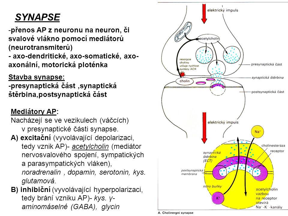 SYNAPSE přenos AP z neuronu na neuron, či svalové vlákno pomocí mediátorů (neurotransmiterů)