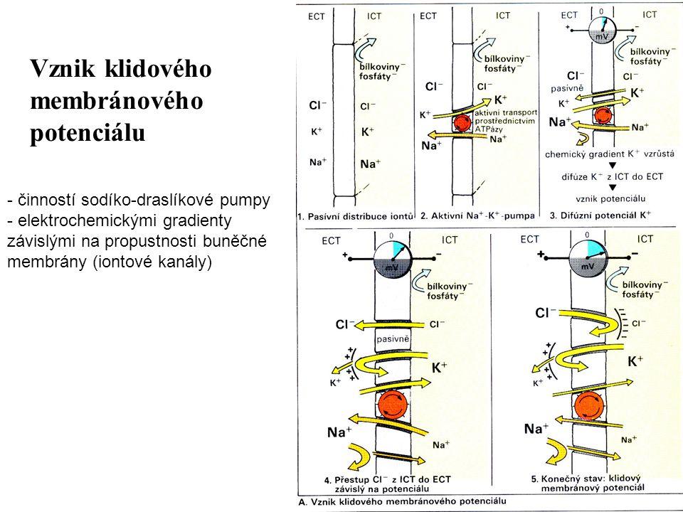 Vznik klidového membránového potenciálu