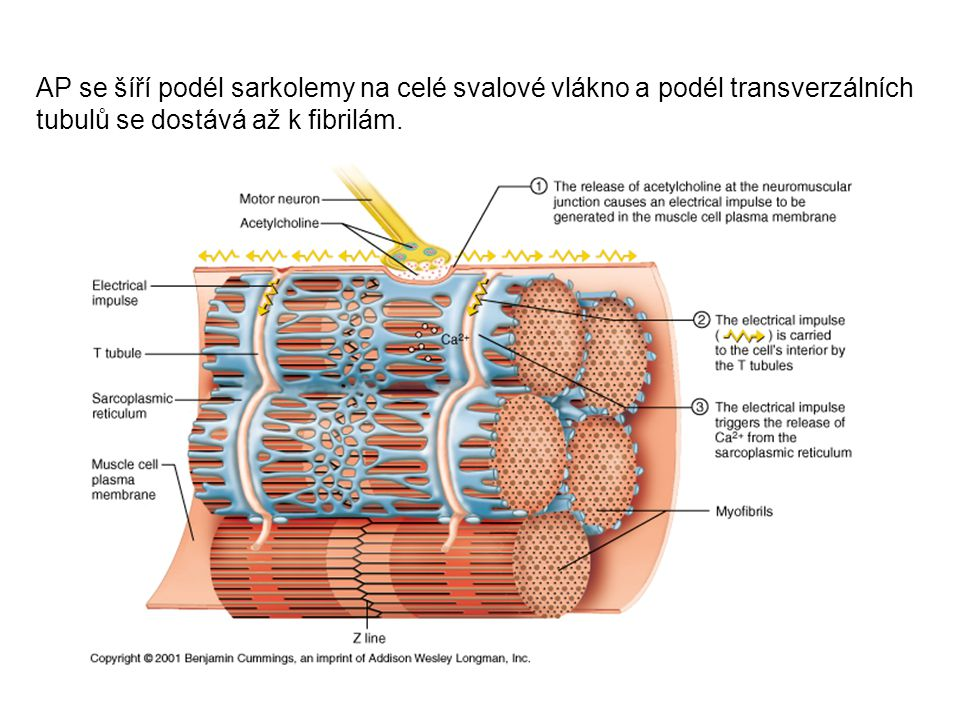 AP se šíří podél sarkolemy na celé svalové vlákno a podél transverzálních tubulů se dostává až k fibrilám.