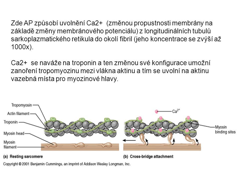 Zde AP způsobí uvolnění Ca2+ (změnou propustnosti membrány na základě změny membránového potenciálu) z longitudinálních tubulů sarkoplazmatického retikula do okolí fibril (jeho koncentrace se zvýší až 1000x).